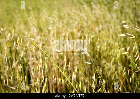D'un arrière-plan de la folle avoine de printemps domaine . Banque D'Images