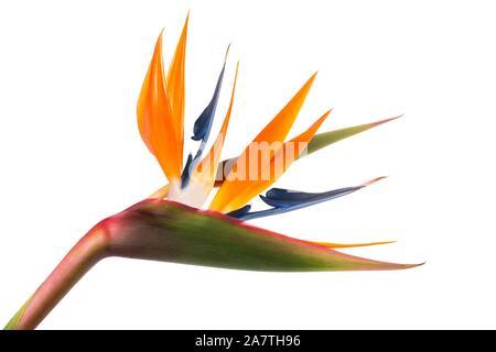 Oiseau du Paradis (Strelitzia reginae) isolé sur fond blanc Banque D'Images