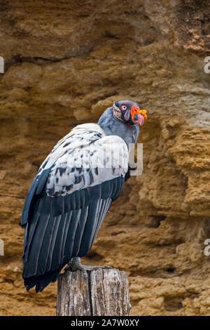 Vautour pape (Sarcoramphus papa / Vultur papa) originaire d'Amérique centrale et du Sud Banque D'Images