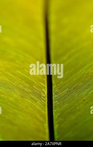 Les feuilles des plantes fougère verte gouverneur close up révélateur de lignes complexes retour allumé Banque D'Images