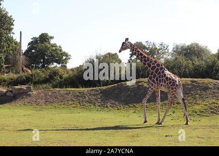 Homme giraffe réticulée, Palle (Giraffa camelopardalis reticulata)