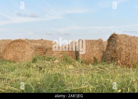 La récolte, gerbes au milieu des champs. Gerbes de foin. Gerbes de foin dans un champ dans le mois d'août dans l'été contre un ciel bleu. La récolte. Harv Banque D'Images