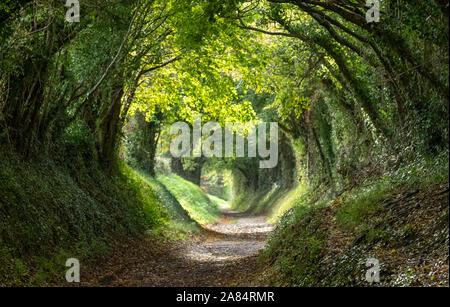 Halnaker tunnel d'arbres dans la région de West Sussex UK avec la lumière du soleil qui brillait à travers les branches. Cela fait partie de la première voie romaine de Londres à Chichester. Banque D'Images