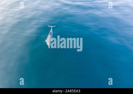 Un dauphin à long bec, Stenella longirostris, nage dans les eaux bleues du Parc National de Komodo, en Indonésie. Banque D'Images