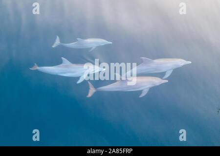 Dauphins, Stenella longirostris, nager dans les eaux bleues du Parc National de Komodo, en Indonésie. Banque D'Images