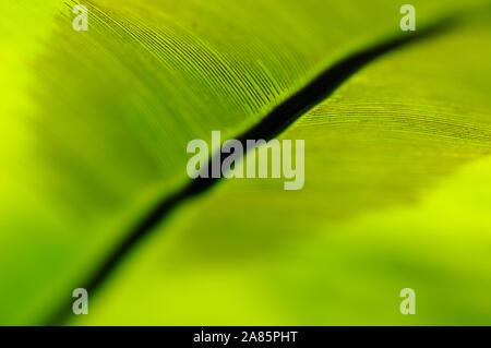 Gouverneur de fougères vert frais c'est révélateur des feuilles dans une forêt tropicale Banque D'Images