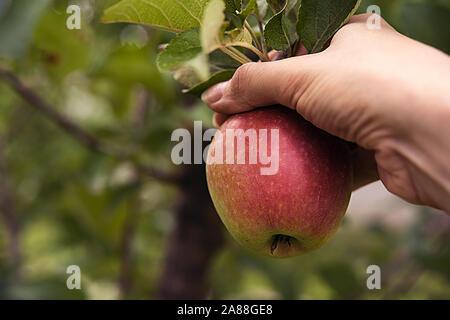 Côté rouge mûr apple dans woman's hand, entouré de feuilles et branches de pommier réel. Le temps de la récolte d'été ou d'automne et la saine alimentation conc