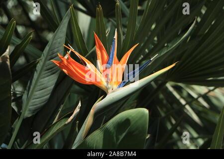 Orange et bleu oiseau de la fleur de paradis Banque D'Images