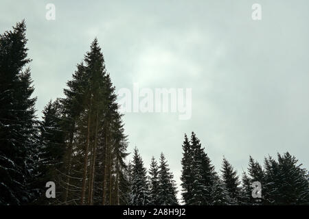 Conifère tops avec peu de neige, contre ciel gris (espace pour le texte), typique sombre journée d'hiver de forêt. Banque D'Images
