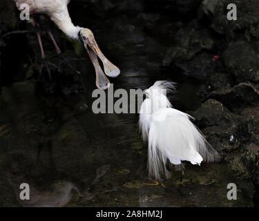 Aigrette neigeuse close up debout dans l'eau en interaction avec un Roaseate spatule d'oiseau avec ses ailes déployées et d'exposer son corps, tête, bec, pattes, f Banque D'Images