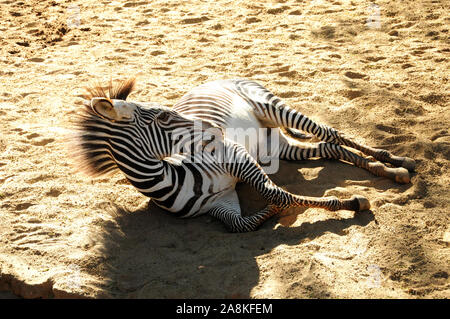 Los Angeles, Californie, USA 8 novembre 2019 le zèbre de Grevy le 8 novembre 2019 au zoo de Los Angeles à Los Angeles, Californie, USA. Photo de Barry King/Alamy Stock Photo Banque D'Images