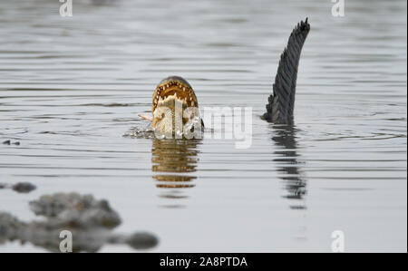 ALLIGATOR Alligator mississippiensis) (se nourrir de poissons, Myakka River State Park, Florida, USA. Banque D'Images