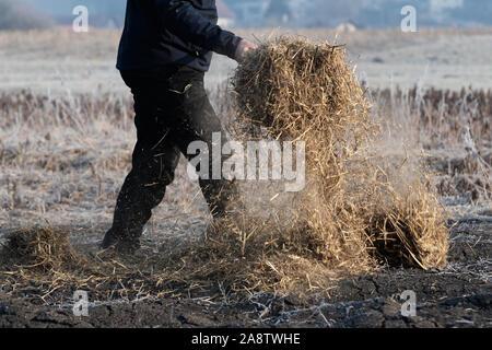 L'homme travaillant sur le domaine de la paille pour couvrir le sol à l'aide de la fourche pour garder le terreau humide et exempt de mauvaises herbes. L'agriculture, de l'élevage Banque D'Images