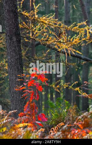 Northern red oak / chêne (Quercus rubra champion / Quercus borealis) couleurs d'automne rouge montrant des gaules en forêt mixte avec de la fougère à l'automne Banque D'Images
