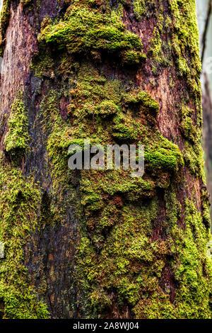 De plus en plus de mousse sur le hêtre, le myrte est un arbre à feuilles persistantes originaire de l'Australie et se développe principalement dans les forêts pluviales tempérées.
