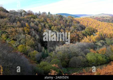 De belles forêts et de mélèzes sur plantation de mélèzes en automne couleurs du paysage sur une colline boisée dans Carmarthenshire Wales UK KATHY DEWITT Banque D'Images