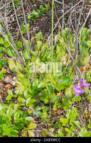 Sarracénie pourpre, Sarracenia purpurea