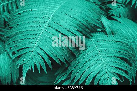 Les jeunes feuilles de fougère naturelle parfaite. Toile de menthe à la mode pour votre conception. Vue d'en haut. Copier l'espace. Banque D'Images