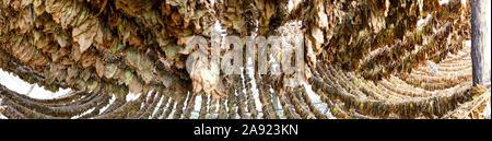 Le séchage des feuilles de tabac dans le hangar de l'image panoramique Banque D'Images