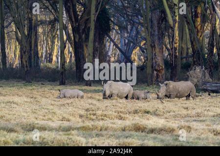 Rhinocéros blanc Ceratotherium simum famille avec deux petits bébé. Parc national du lac Nakuru Kenya Afrique de l'Est. Square-lipped rhinoceros bébés Banque D'Images