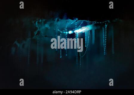 Close up de vers luisants avec leur bioluminescence illuminant leurs sticky threads sur un plafond cave