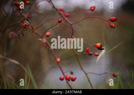 Bush de rose musquée avec fruits rouges poussent sur la rive de la rivière. Banque D'Images