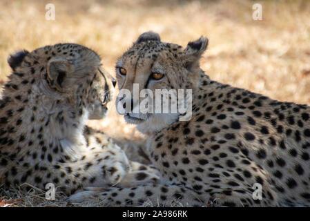 Portrait d'un couple de guépard se détendre dans l'herbe de la savane africaine Banque D'Images