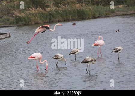 Grand flamant rose volant au-dessus d'un groupe de quelques flamants roses sur un lac d'eau Banque D'Images