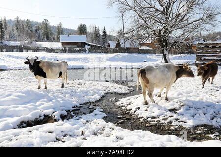 La Russie. 08Th Nov, 2019. La région de Kemerovo, Russie - 4 NOVEMBRE 2019: les vaches dans le village reculé de Kilinsk. Selon le recensement de 2010, 200 personnes vivent dans le village, la plupart d'entre eux priestless des vieux croyants. Alexander Ryumin/crédit: TASS ITAR-TASS News Agency/Alamy Live News Banque D'Images