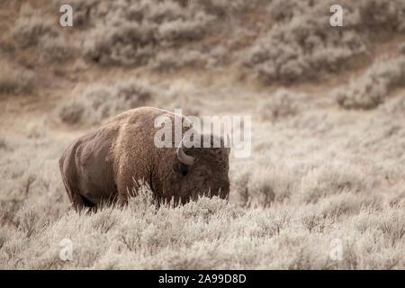 American Bison Buffalo bull en vintage Parc National de Yellowstone, Wyoming
