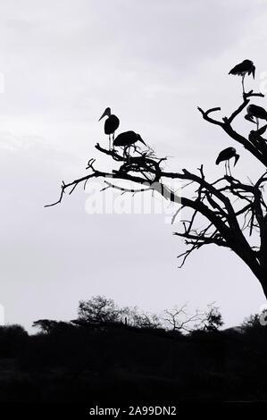 Troupeau de Wild Bird Marabout africain africaine sur les branches d'arbres dans la forêt de la savane du Serengeti en Tanzanie. Image à contraste élevé de Silhouette Banque D'Images