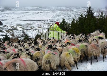 Farmer feeding sheep dans la neige de l'hiver, Swaledale , North Yorkshire Banque D'Images
