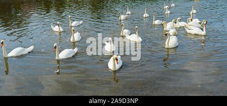 Grand groupe horde de Cygnes tuberculés blancs à Heybridge Basin Woodham Ferrers Banque D'Images