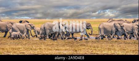 Une vue panoramique d'un troupeau d'éléphants marchant rapidement dans l'eau dans une vaste plaine, avec un ciel nuageux dans l'arrière-plan. Au Botswana. Banque D'Images