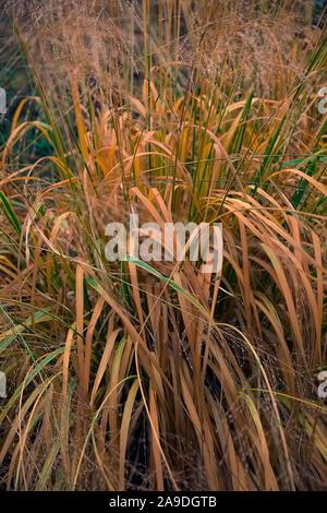 Molinie caerulea subsp. arundinacea 'Transparent' au cours du mois de novembre Banque D'Images