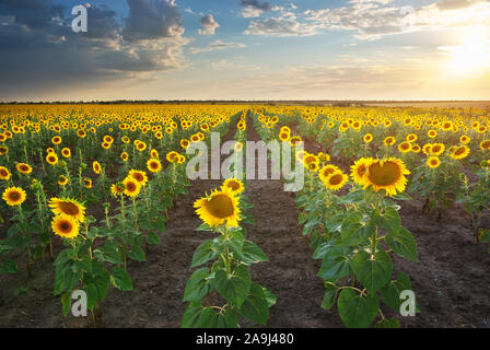 Champ de tournesols. Composition de la nature. Banque D'Images