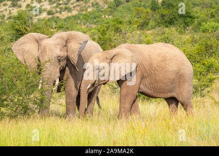 Les éléphants africains ( Loxodonta Africana) se nourrissent d'herbe, Pilanesberg National Park, Afrique du Sud. Banque D'Images