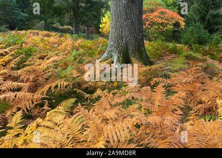 Fougère (Pteridium) à Lone Tree Trunk dans couleurs d'automne Banque D'Images
