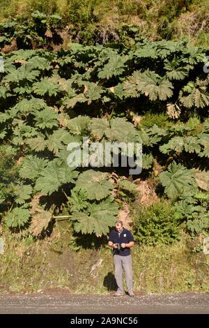Jeune adulte l'homme contre l'usine de rhubarbe chilienne grand parc Pumalin Chaiten, Patagonie, au Chili