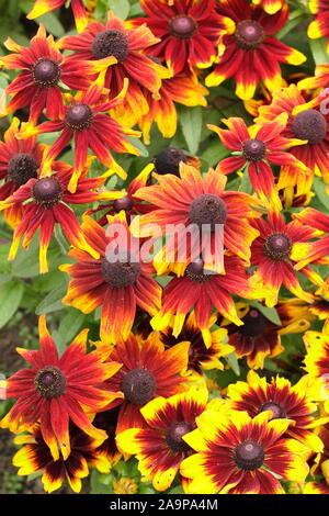 Rudbeckia hirta Toto 'Rustic' gloriosa daisy la floraison dans un jardin à la fin de l'été. Aga Banque D'Images