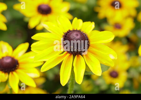 Rudbeckia hirta 'toto' Citron Gloriosa Daisy Banque D'Images