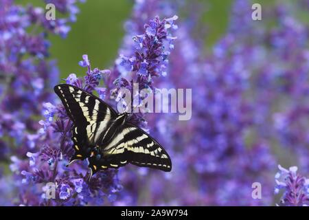 Papillon à queue de tigre sur fleurs violettes
