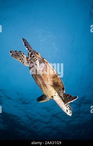 La tortue imbriquée, Eretmochelys imbricata, South Male Atoll, Maldives, océan Indien