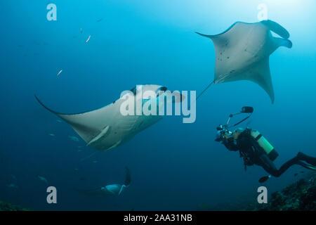 Reef Raie Manta, Manta alfredi, Ari Atoll, Maldives, océan Indien Banque D'Images