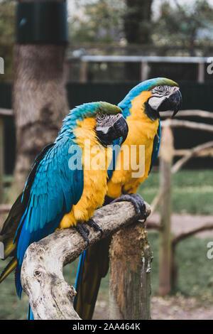 Perroquets ara bleu jaune sur les branches, perroquets colorés au zoo. Banque D'Images
