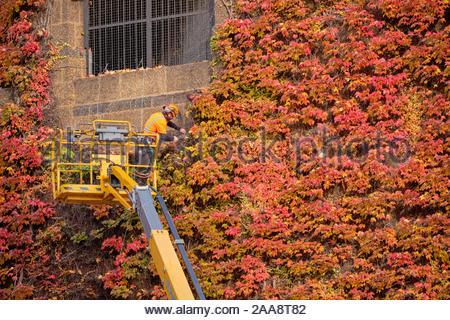 Westminster, London, UK. 20 novembre 2019. Compensation de l'employé d'entretien de couleur automne Boston ivy au large de la citadelle de l'Amirauté murs sur un jour d'automne ensoleillé, à Westminster. Le travail était nécessaire en raison du poids de la vigne qui risquait de tomber et de perdre une partie importante de la fonction et l'utilisation d'une grue pour atteindre la zone à problème. Credit: JF Pelletier / Alamy Live News Banque D'Images