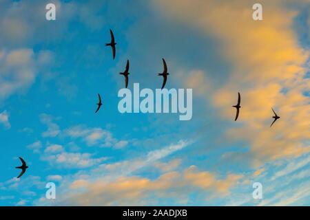 Swift (Apus apus) troupeau hurlant en vol sur fond de ciel bleu et nuages, Monmouthshire, Wales, UK, juillet.