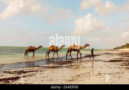 Diani, Mombasa, Kenya, Afrika oktober 13, 2019 un conducteur se lave trois chameaux dans l'océan contre un ciel nuageux. L'eau et l'horizon sur une journée ensoleillée en Af Banque D'Images