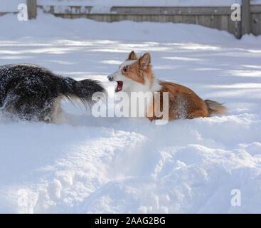 Un jeune Shetland Sheepdog (shelties) essaie de mordre la queue de son frère.