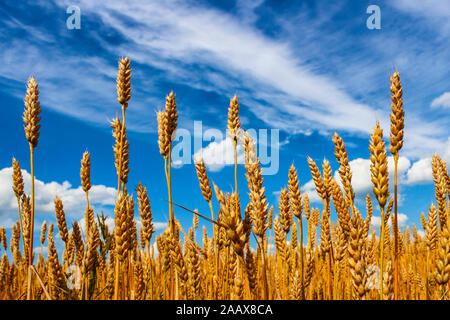 Venu des épis de blé contre le ciel bleu avec des nuages Banque D'Images